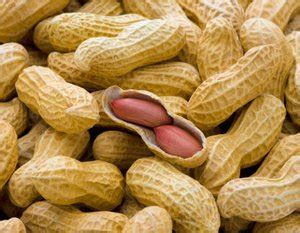 jual benih biji kacang tanah mutu terbaik  lapak seeds