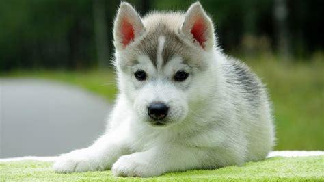 white husky puppy with blue white puppy husky puppies puppy