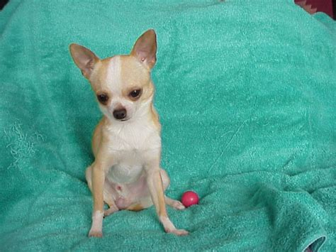 chihuahua puppies for sale ta chihuahua puppy www pixshark images galleries with a bite