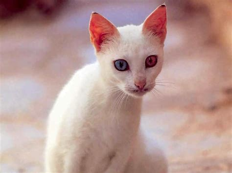 with different colored white cat with different color pictures to pin on