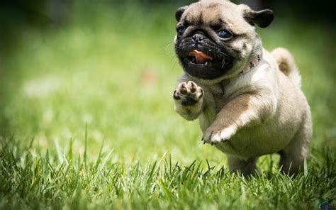 pugs hunt lions pug puppy wallpaper hd wallpapers breeds picture