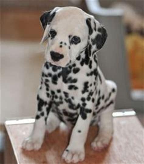 dalmatian puppies for sale oregon best 25 dalmatian puppies for sale ideas on puggle puppies for sale boys