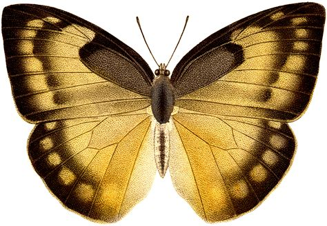 Butterfly Gold vintage gold black butterfly illustration the graphics