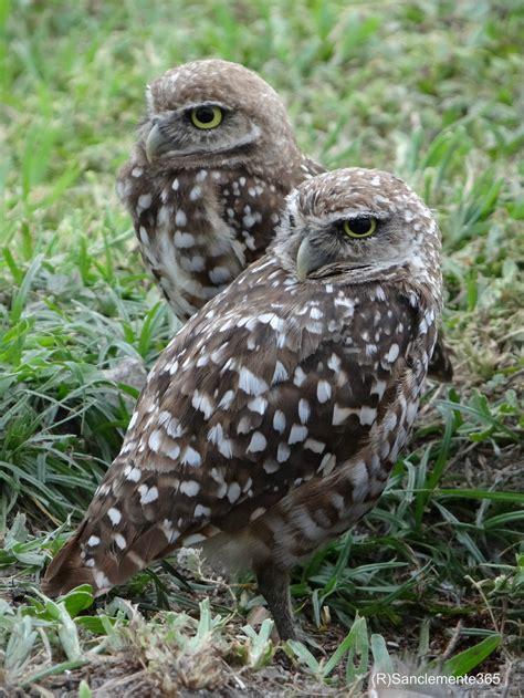 day   owl athene noctua buho lamonamelba