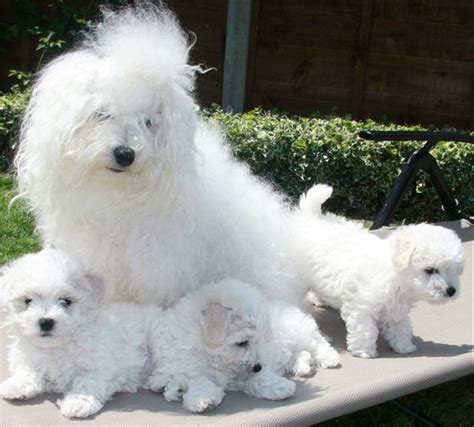 cani per casa cani da appartamento di piccola taglia idee green