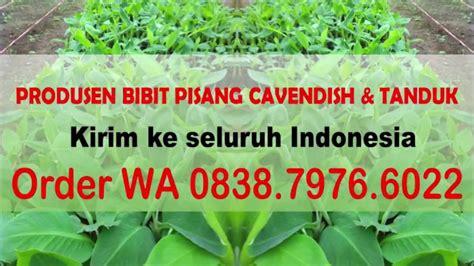 Jual Bibit Gurami Batam chat wa 0838 7976 6022 jual bibit pisang cavendish dan tanduk di kota batam