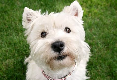 can dogs look up can dogs look up 6 myths about dogs terribly terrier