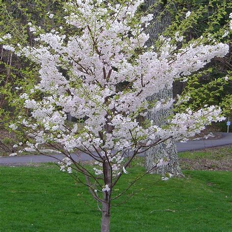 9 cherry tree onlineplantcenter 5 gal 5 ft yoshino cherry tree shop your way shopping earn
