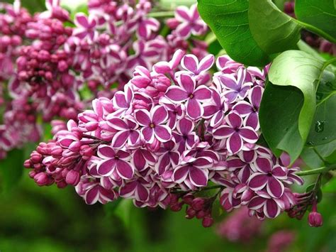 lilla fiore lill 224 syringa syringa piante da giardino lill 195