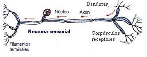 imagenes de neuronas sensoriales cuadros comparativos entre las neuronas motoras y