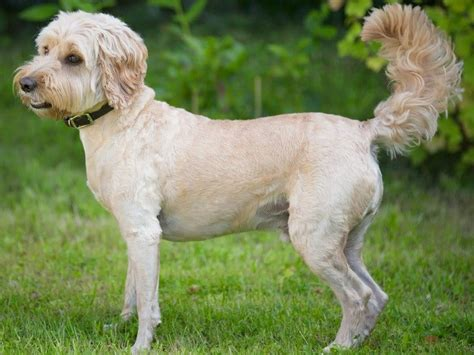 goldendoodle puppies for sale in ct goldendoodle breeders in connecticut freedoglistings