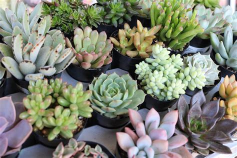 succulent plant 2 5 quot assorted succulents succulents for sale bulk