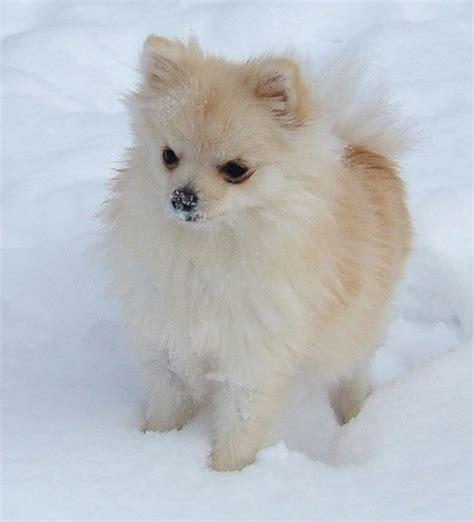 white pomeranian pictures pomeranian puppy in white jpg
