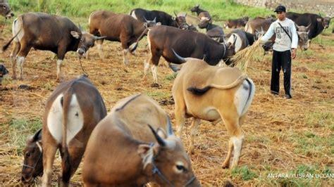 Bibit Sapi Brahman sapi brahman perawatan bibit menentukan 2