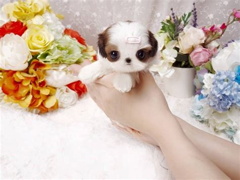 teacup shih tzu price range imperial teacup shih tzu 1001doggy