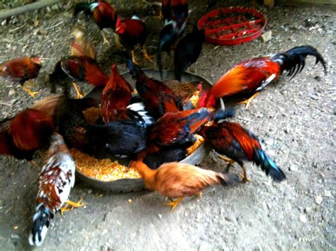 rep dominicana pelea de gallos pelea de gallos en republica dominicana 2015