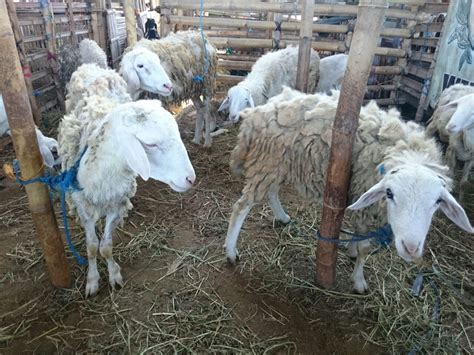 Harga Hewan harga domba untuk kurban 2017 di ud soleh daging kambing