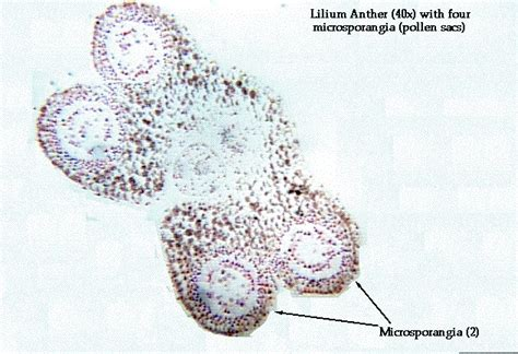 anther cross section lilium anther labeled