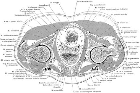 what are the divisions of the surgery section based on cross section of the trunk through the pubic symphysis