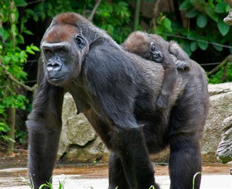 gorilla facts | Bradley's Animal Place