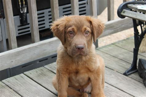 chocolate lab mixed with golden retriever golden retriever and chocolate lab mix about animals