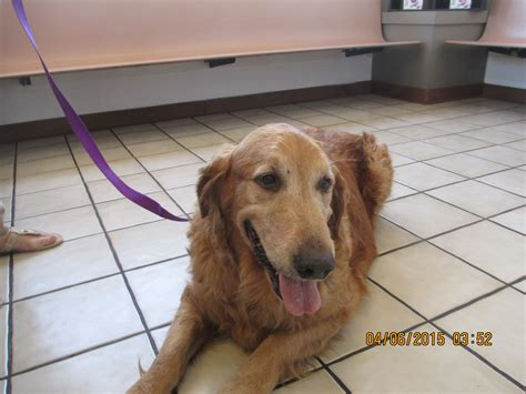golden retriever rescue in arizona buddy southern arizona golden retriever rescue