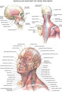 tag human anatomy neck muscles archives human anatomy
