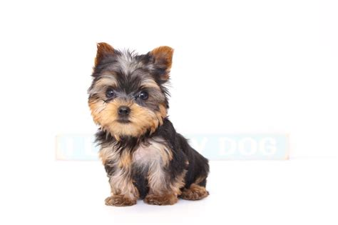 frontline for yorkies puppies for sale