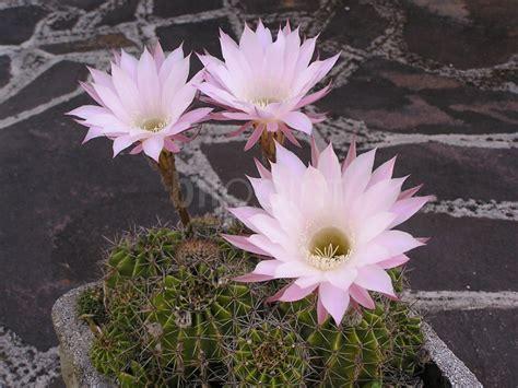 foto di piante grasse con fiori fiori di piante grasse blipoint