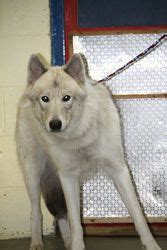 puppies for sale mn tribune princess is an adoptable husky in woodbridge ct princess a 70 pound