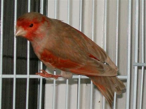 Obat Cacing Burung Kenari memastikan asupan beta karoten pada pakan kenari merah klub burung