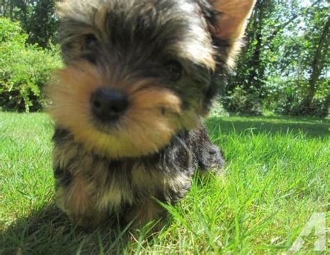 teacup yorkies for sale in atlanta amazing and females yorkie puppies for sale in atlanta classified