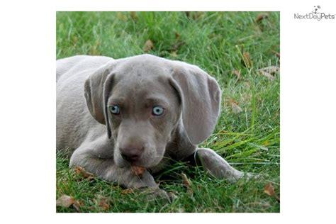 puppy finder indiana weimaraner puppy for sale near muncie indiana 84ddcfd7 b641