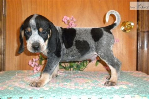 bluetick coonhound puppies for sale bluetick coonhound for sale for 400 near augusta 1377dd51 2421