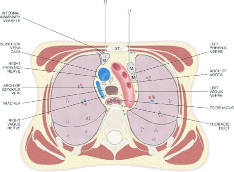 transverse section through thorax drawing of a transverse section through the thorax at the