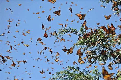 imagenes de mariposas en vuelo 193 lava tendr 225 una granja de mariposas orain