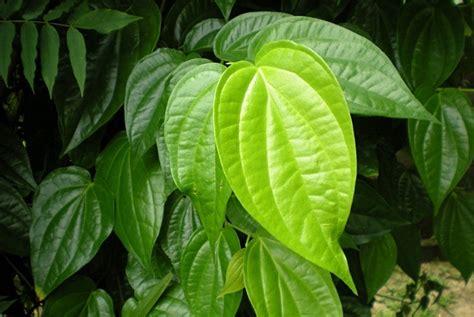 Betel Leaf Daun Sirih Essential 5ml top 22 home remedies for boils on skin