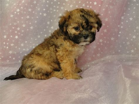 cheap teddy puppies for sale teddy puppies for sale in iowa mini teddy the knownledge