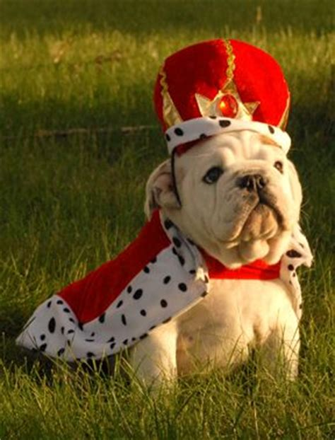 bulldog puppies new hshire 17 best ideas about dogs in costumes on animals in costumes