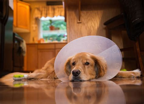 cone of shame the cone of shame why e collars get a bad rap but are so important petmd