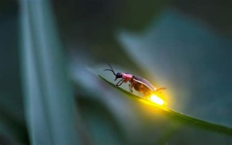 How Do Lightning Bugs Light Up Firefly Insects In