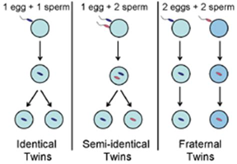 diagram of how identical are formed understanding genetics
