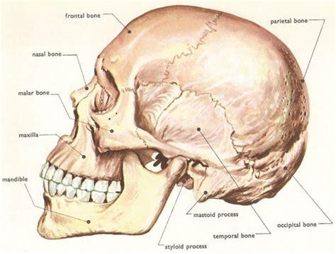 skull anatomy how to draw a skull 50 tutorials in black