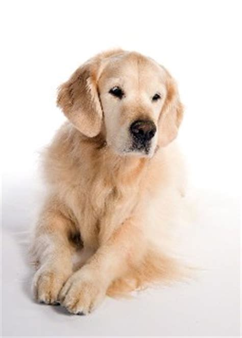 golden retriever therapy dogs kicker the golden retriever one therapy s legacy gensol diagnostics