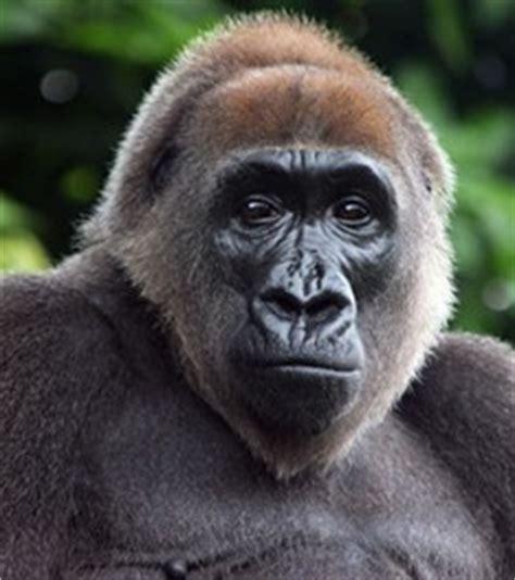 Endangered Species: Cross River Gorilla – The Cougar Call