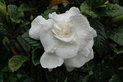 everblooming gardenia gardenia jasminoides veitchii