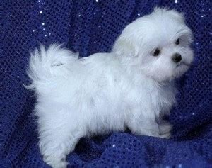 free puppies sc dogs florence sc free classified ads