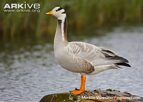 bar headed goose videos photos and facts anser indicus