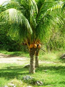 Caring For Fruit Trees - coconut most important fruit and tree in our daily life