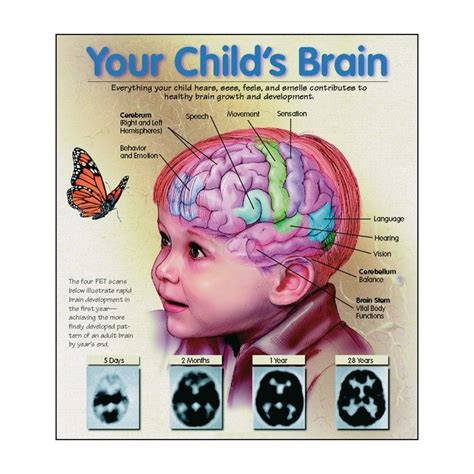 Baby Brain by 31 Best 1 Brain Development Images On Toddler